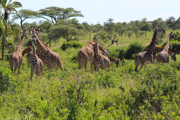 Off-Season-Adventures-WildlifeWed_Giraffe2-landscape