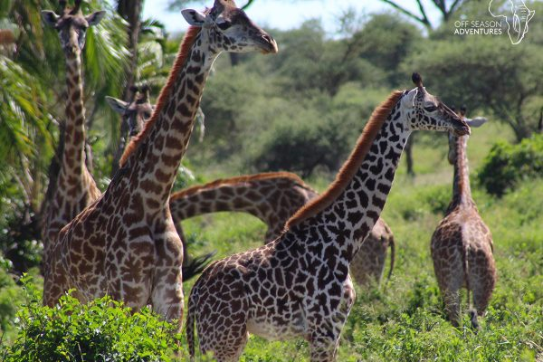 WildlifeWed_giraffe-1