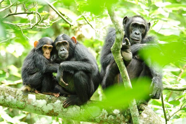 1024px-Chimpanzees_in_Uganda_(5984913059) (1)