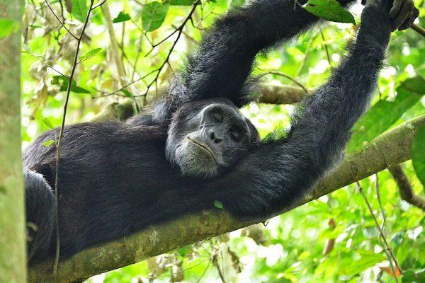 Chimpanzee,_Kibale,_Uganda_(15300403643) (1)
