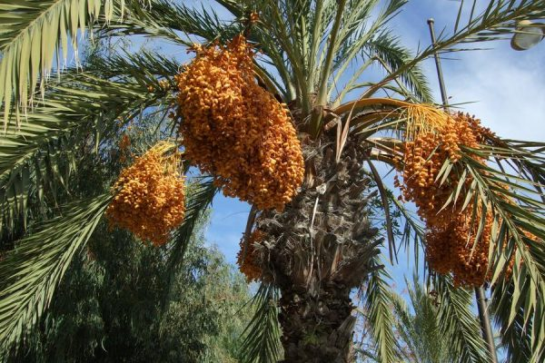 tree_of_dates_tunisia_by_jonahart7_d4n3lz6-fullview