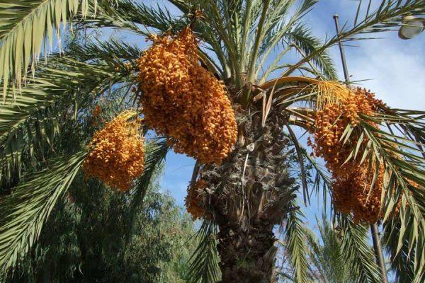 tree_of_dates_tunisia_by_jonahart7_d4n3lz6-fullview